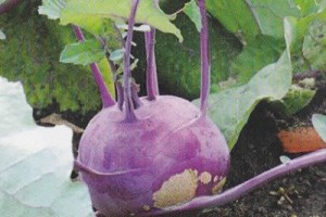 How to Grow Kohlrabi in Your Fall Garden
